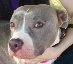 Hera is a gorgeous and loving pitty waiting patiently!